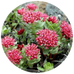 Rhodiola rosea seeds Golden Root Adaptogen seeds-min