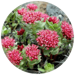 Rhodiola-rosea-seeds-Golden-Root-Adaptogen-seeds-min-150x150